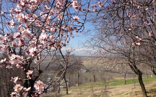 kashmir almond trees